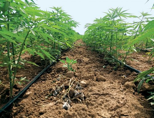 Best practices & irrigation techniques in industrial hemp cultivation