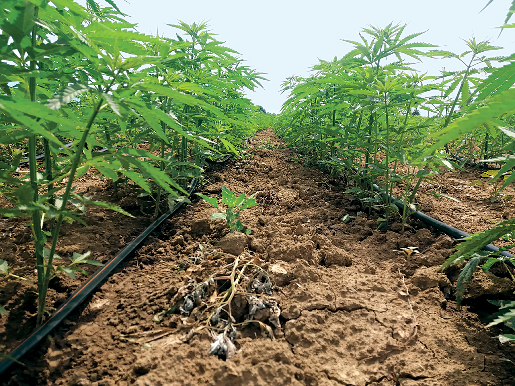 Best Practices Irrigation Techniques In Industrial Hemp Cultivation Sab Spa