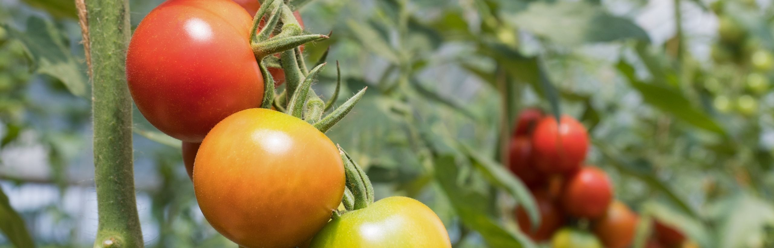 irrigazione a goccia pomodori