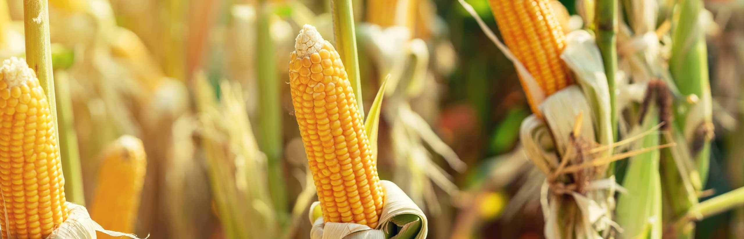 irrigazione a goccia del mais